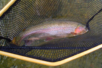 Great shot of a rainbow trout in net waiting release.
