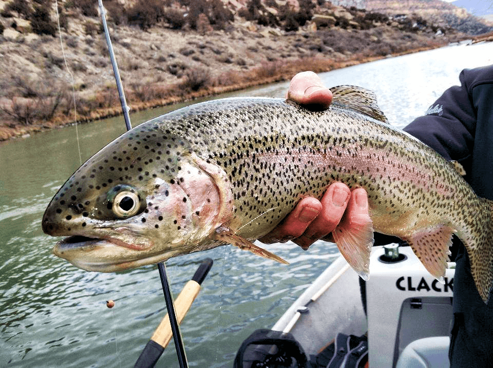 Big Rainbow Trout caught on the San Juan River in NM while fly fishing.